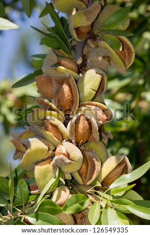 branch of almonds