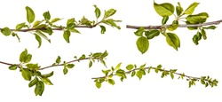Branch of an apple tree with young green leaves. Isolated on white background. Set