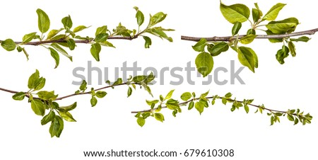 Branch of an apple tree with young green leaves. Isolated on white background. Set #679610308