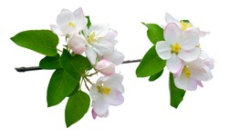 Branch of apple blossoms. The apple tree is in bloom. Close-up. Isolated on white background without shadow. Spring. nature in detail.