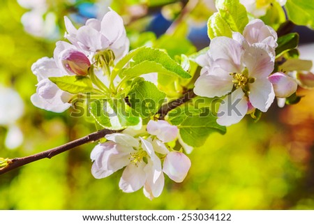 branch of apple tree with blossoming flovers  #253034122