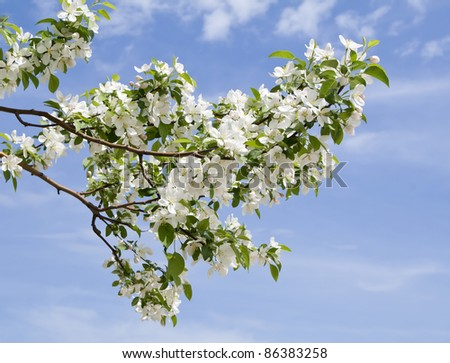 branch of apple tree with many flowers over blue sky