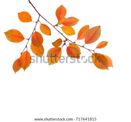 Branch of autumn leaves (Cherry plum) isolated on a white background. Studio  shot #717641815