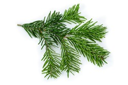 Branch of beautiful Nordmann Fir Christmas Tree. Green pine, spruce branch with needles. Isolated on white background. Close-up top view.