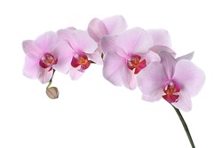 Branch of beautiful pink Phalaenopsis orchid isolated on white