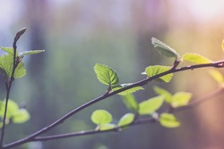 branch of birch on forest background