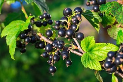 Branch of black currant in the garden