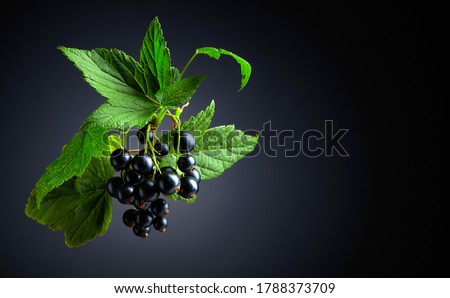 Branch of black currant  with leaves and ripe juicy berries on a dark background. Copy space. Foto stock ©