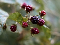 branch of black raspberry or blackberry with unripe red and ripe black berries on green bush leaves background, image wallpaper with copy space for text. Selective focus. High quality photo