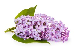 Branch of blooming lilac with leaves isolated on white background