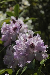 branch of blooming violet rhododendron. spring detail