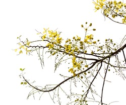 Branch of Blossom from the Golden Shower Tree with Rain Drops Isolated on white with clipping path