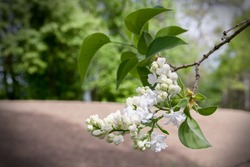Branch of blossoming white lilac on a sunny day on a blurred background. Use it as a greeting card or poster, as a banner, background or wallpaper for your homepage, social media