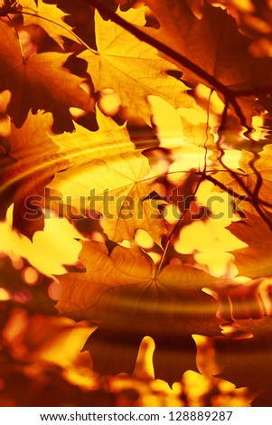 Branch of bright autumn maple foliage reflection in the water with ripples
