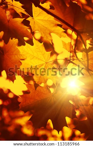 Branch of bright autumn maple foliage with sunlight