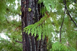 Branch of cedar tree with trunk