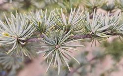 Branch of Cedrus atlantica. Trees. Acicular leaves, grouped in verticils, of the Atlas Cedar