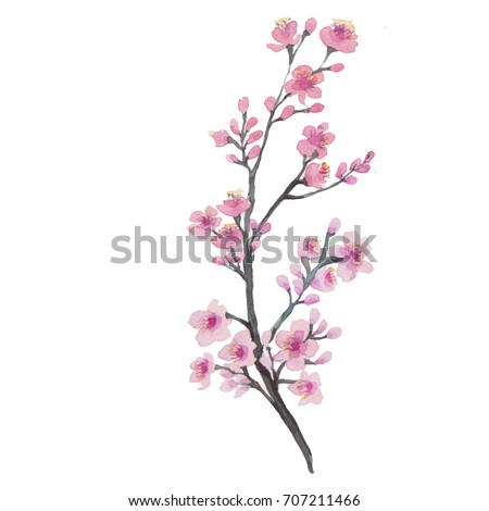 Branch of Cherry blossom , watercolor painting.