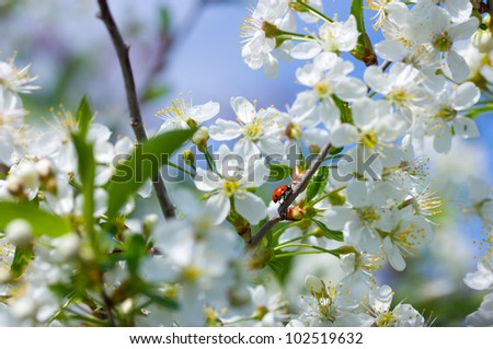 branch of cherry blossoms with a ladybug on it