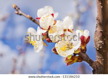 Branch of cherry blossoms with white flowers on blue sky