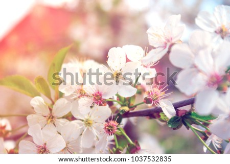 Branch of cherry or apple blossoms. Spring flowers on a tree in the garden
