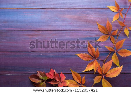 Branch of colorful autumn leaves  (Virginia creeper) on wooden board.