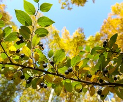 Branch of Common buckthorn (Rhamnus cathartica) tree in autumn. Beautiful bright view of black berries and green leaves close-up.