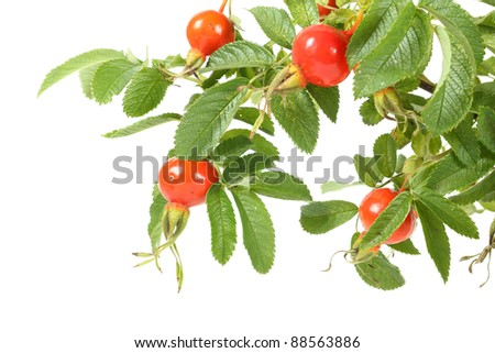 Branch of dog rose. Image isolated over pure white background