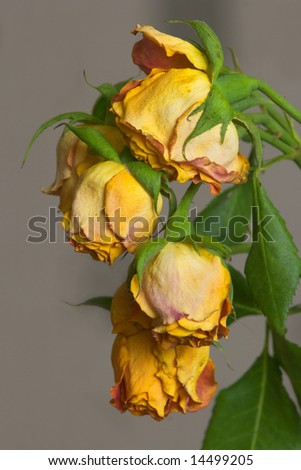 Branch of dried up orange roses on gray background