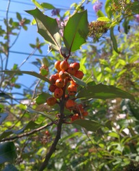 Branch of European holly (Ilex aquifolium, common holly, Christmas holly) with bright orange berries and green ornamental spiked leaves in background of blue sky. Colorful image of holly in autumn