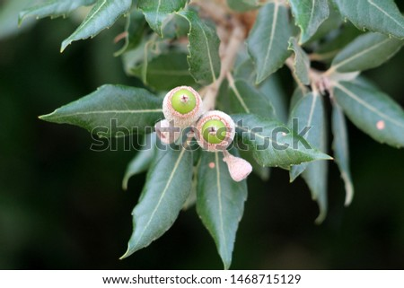 Branch of Evergreen oak or Quercus ilex or Holly oak or Holm oak evergreen oak tree with young light green shoots clothed with a close grey felt surrounded with dark green leathery leaves #1468715129