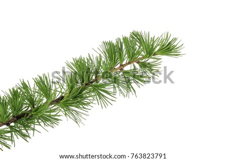 branch of fir isolated #763823791