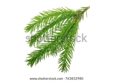 branch of fir isolated #763832980