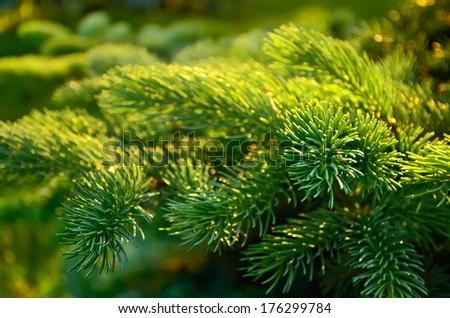 Branch of  fir tree. Close up. Shallow depth of field. #176299784