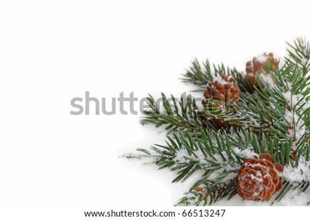 Branch of fir tree in snow isolated on the white background.