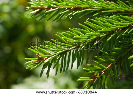 branch of fir-tree (Picea abies) with young needles