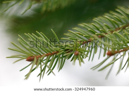 Branch of fir tree with snow. Close up. Shallow depth of field. #324947960