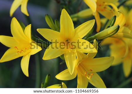 branch of flower hemerocallis...