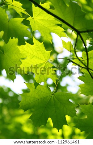 Branch of fresh green maple foliage