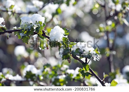 branch of gooseberry bush with green leaves under sudden snow on outdoor background