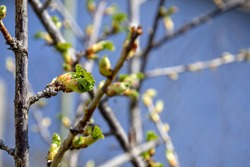 Branch of gooseberry with swollen and blooming buds. Early spring. Beginning of juice movement. Preparing buds for budding. Side view, against blue wall. Blurred background. Close-up. Selective focus.