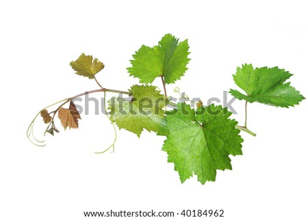 Branch of grape vine on white background