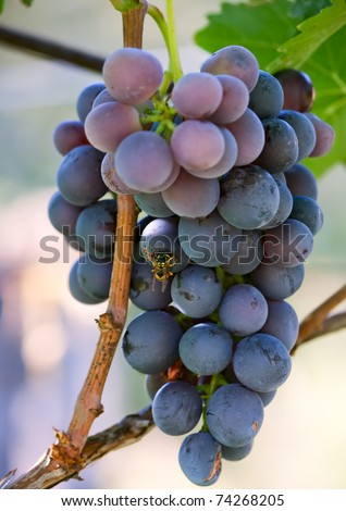 Branch of grape vine  with bee on grape.