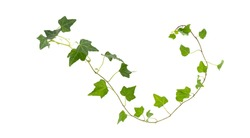Branch of green ivy on a white background