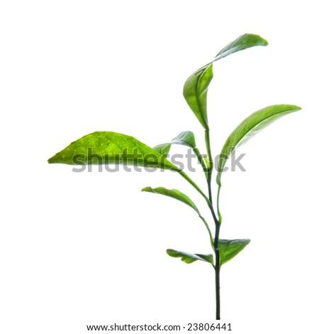branch of green lemon leaves isolated on white