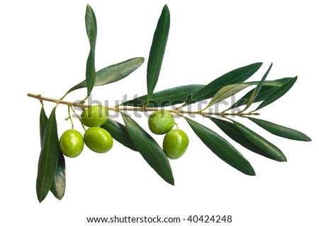 branch of green olives