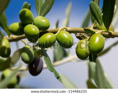 branch of green olives on the tree