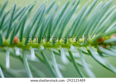 Branch of greenery fir tree. Close up needles shallow depth of field. #292121489