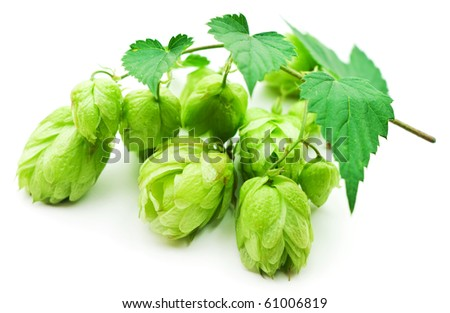 branch of hop isolated on white