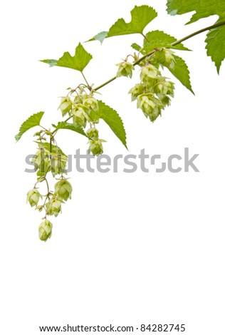 branch of hops, isolated on a white background